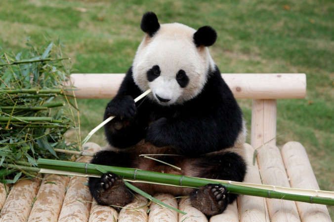За день панда может съесть до 30 килограмм бамбука. Фото: Chung Sung-Jun/Getty Images | Epoch Times Россия