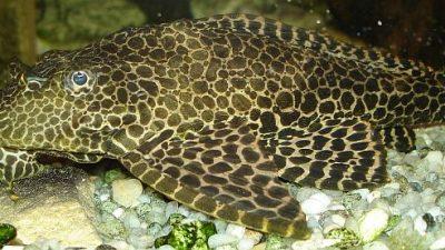 Учёные обнаружили загадочную зубастую рыбу с мордой бульдога