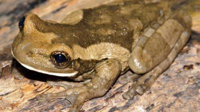 Бразильские лягушки оказались обладателями ядовитых шипов