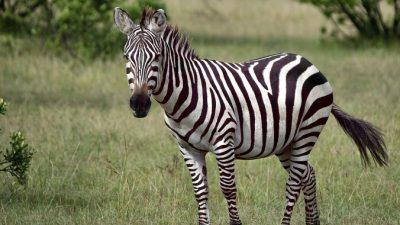 Полосы на шкуре зебр не защищают их от хищников