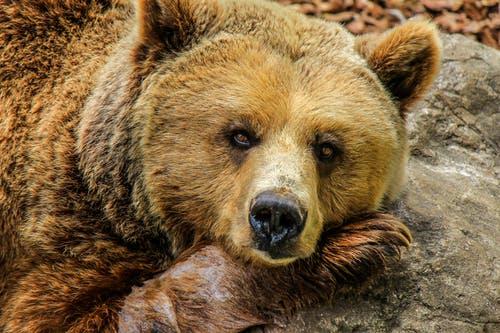 Медведь. pexels.com/ru-ru/@pixabay/ССО   Epoch Times Россия