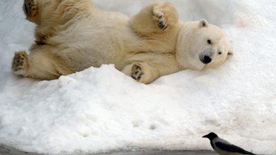 Фотографии мёртвых полярных медведей вызывают большое беспокойство