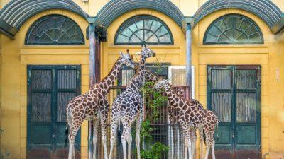 Учёные выяснили происхождение длинной шеи жирафов