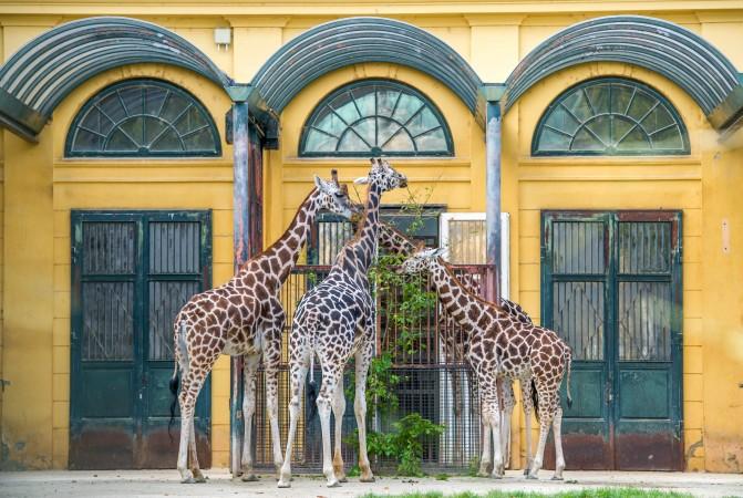 jirafi jivotnie foto dnya - Учёные выяснили происхождение длинной шеи жирафов