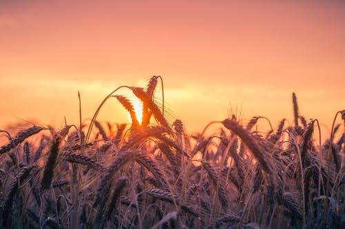 Глобальное потепление может привести к потере урожая. pexels.com/ru-ru/@pixabay/ССО | Epoch Times Россия