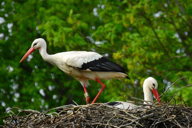 stork 4088353 1280 676x450 1 - Из-за аномального потепления птицы сели на гнёзда