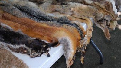 Израиль запретит торговлю мехом животных