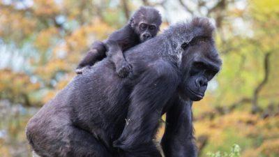 Маленького гориллу не приняла мать, но сиротой он не остался