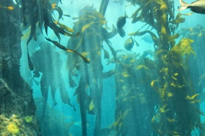 Капские ламинарии, также известные как Великий африканский морской лес, представляют собой огромную подводную среду обитания, простирающуюся от берегов Кейптауна в Южной Африке на север на 620 миль до Намибии. (<a href=