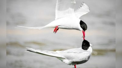 Фотограф запечатлел семейную идиллию арктических птиц