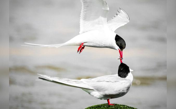 Британский фотограф сделал волнующий снимок двух «голубков», которые, похоже, целуются. (SWNS)   Epoch Times Россия