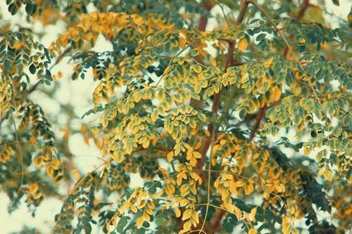 Дерево Моринга. Фото: Pok Rie/pexels.com/ru-ru/license/ | Epoch Times Россия