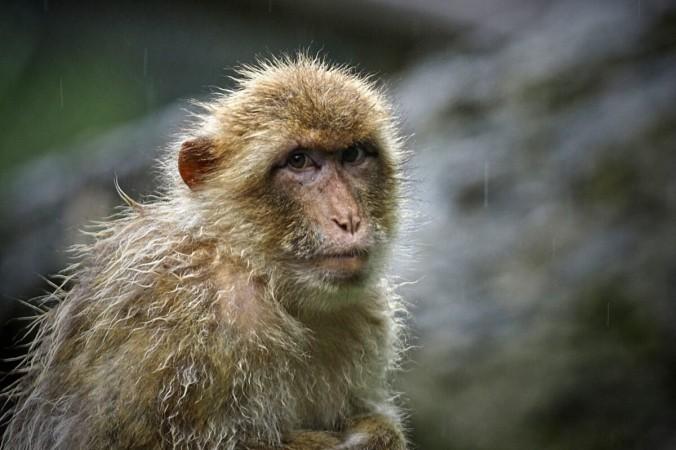 Пекинский ветеринар умер отвируса обезьяны B, уровень смертности откоторого составляет 70-80%