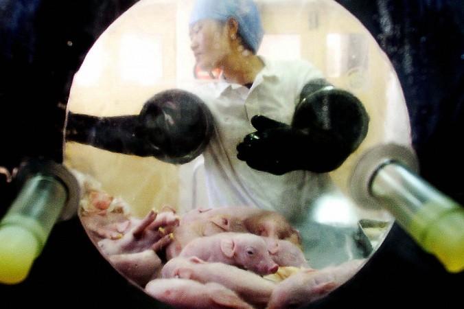 Ветеринар проверяет новорожденных поросят от экспериментальной свиньи, которую кормили только специальной диетой в лаборатории в Пекине 20 октября 2003 года.. (AFP via Getty Images) | Epoch Times Россия