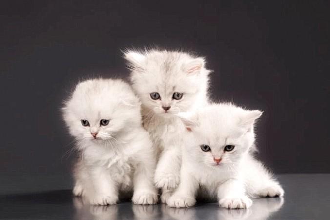White Persian cats 696x464 0 676x450 1 - Пять китайских символов удачи: Летучая мышь, кошка и паук — это на счастье!