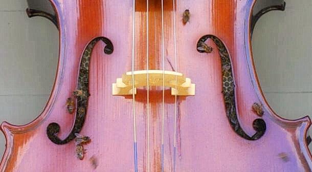 bees in a cello 1 0 - Пчёлы построили улей в виолончели