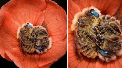 Фотограф Джо снял спящих голубоглазых пчёл