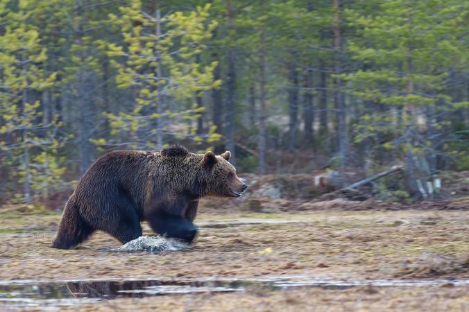 Медведь насмерть задрал туриста из Москвы. Вторая жертва в популярном парке Сибири