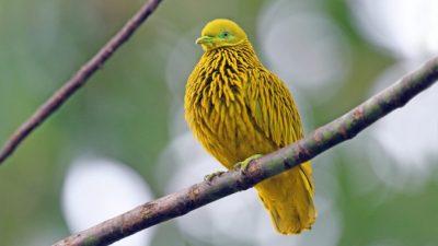 Золотой фруктовый голубь