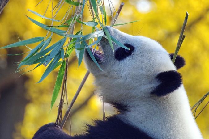 В китайском зоопарке панда притворилась беременной ради вкусной еды