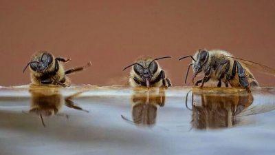На водопое пчёлки развлекались анекдотами