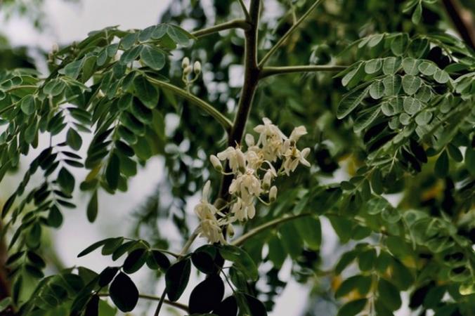 Дерево моринга. Предоставлено Дживаном Муктой | Epoch Times Россия