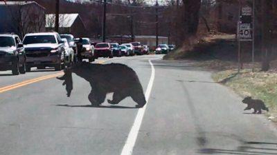 В США перекрыли трассу: многодетная медведица переходит дорогу. Не всё так просто…