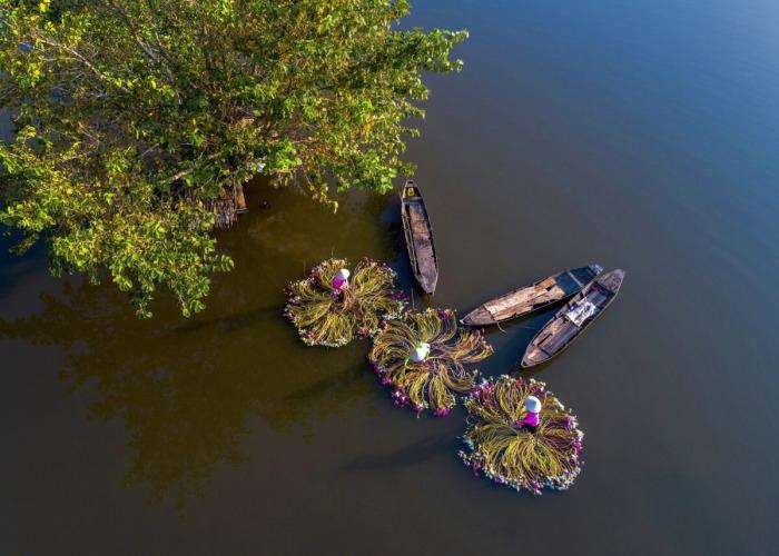 Сбор лилий в дельте Меконга, Вьетнам