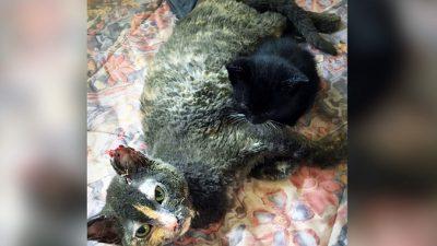 Кошка выносит из горящего сарая своего котёнка и едва выживает