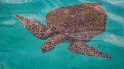 Морские черепахи проглатывают большое количество пластика