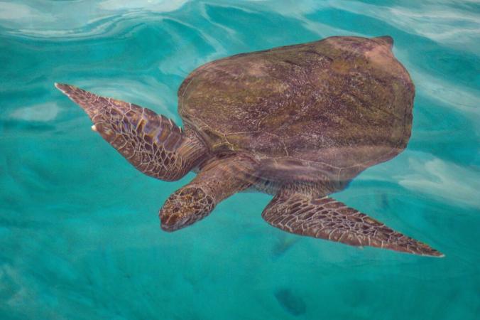 Зелёная морская черепаха плавает в водах у острова Реданг в Малайзии 28 июня 2020 г. (Mohd Rasfan / AFP via Getty Images) | Epoch Times Россия