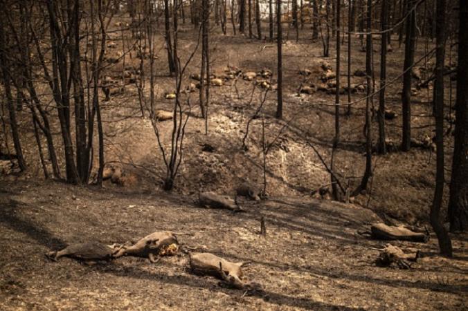 Мёртвые козы в лесу после лесного пожара на острове Эвбея, второго по величине греческого острова, 11 августа 2021 года. Photo ANGELOS TZORTZINIS / AFP via Getty Images. | Epoch Times Россия