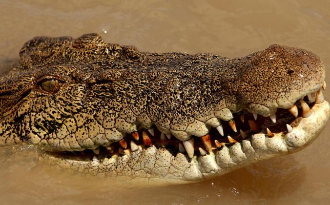 Крокодил в реке Аделаида возле Дарвина в Северной части Австралии 2 сентября 2008 г. Фото: Greg Wood / AFP via Getty Images | Epoch Times Россия