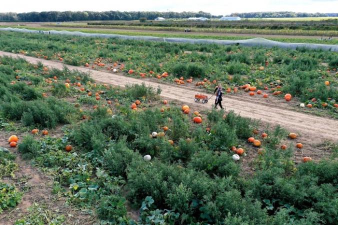 Человек собирает тыквы на семейной ферме Харбес в Маттитаке, штат Нью-Йорк, 6 октября 2020 г. (Al Bello / Getty Images)   Epoch Times Россия