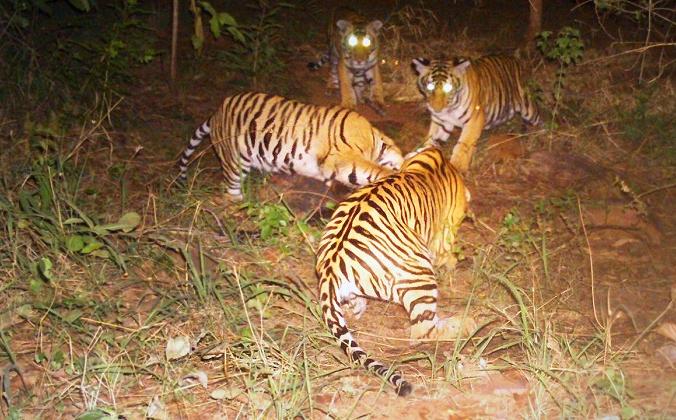 (Предоставлено лесными властями, заповедник тигров Панна)   Epoch Times Россия