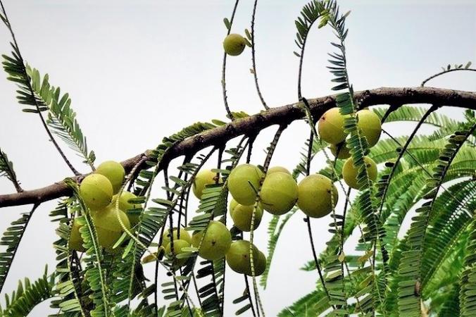 Целебное дерево Амла. Фото Bishnu Sarangi//Pixabay/Pixabay License | Epoch Times Россия