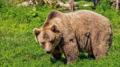 Пять медведей отстреляют в заповеднике «Ергаки» после нападения на людей