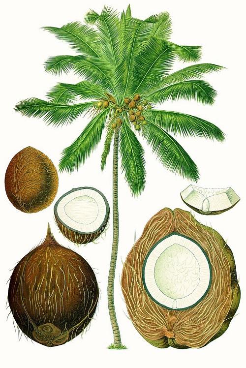 Плод кокоса в разрезе. (Предоставил Дживан Мукта)
