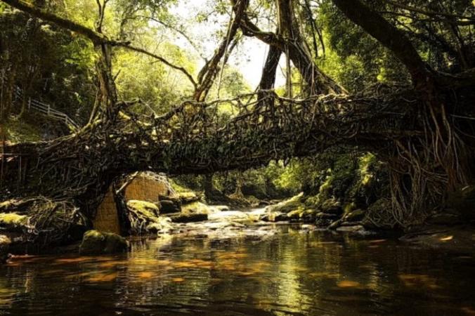 Один из уникальных живых корневых мостов Индии, сделанный из корней фигового дерева баньян.(Изображение: <a href=