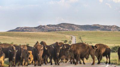 В Якутии от лесных пожаров спасли стадо бизонов в заповеднике