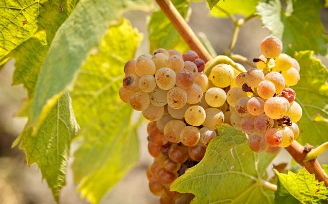 Лучшим считается рислинг, выращенный в прохладных или холодных регионах, он претендует на звание лучшего винного винограда в мире. Рислинг один из немногих сортов винограда подходит под это описание.(PhotoIris2021 / Shutterstock)   Epoch Times Россия