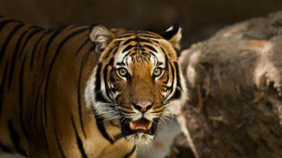 Амурский тигр убил мужчину в Хабаровском крае