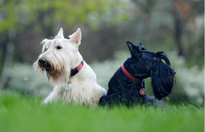 Белый и чёрный шотландские терьеры. Фото предоставлены сообществом «Хвост Ньюс»   Epoch Times Россия