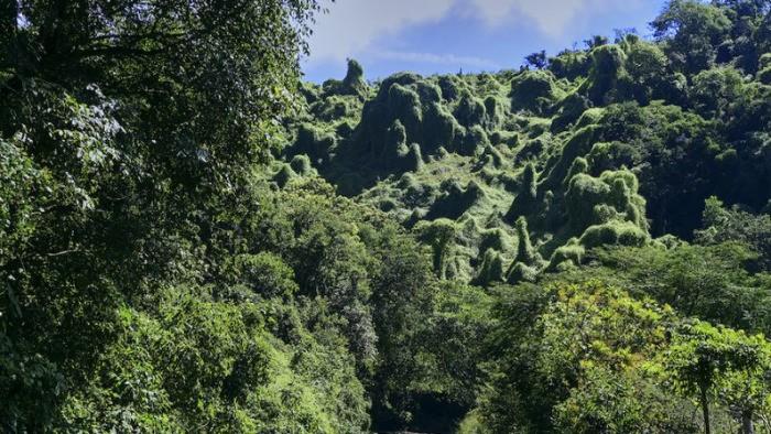 По дороге к вулканам, где лес деревьев, увитых плющом (Christiane Goor et Charles Mahaux*)  | Epoch Times Россия