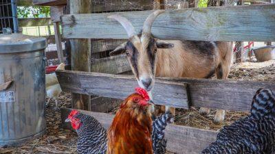 Верховный суд запретил разводить животных для хозяйства на дачных участках
