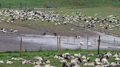 Во Франции зафиксирована вспышка птичьего гриппа