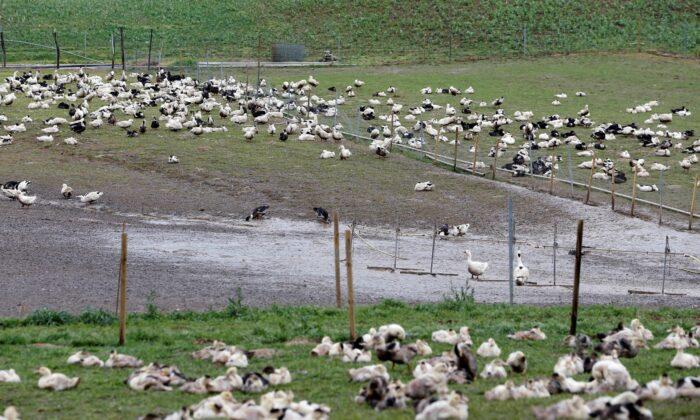 Утки на поле птицефабрики в Монсу, Франция, 12 января 2017 г. Regis Duvignau / Reuters | Epoch Times Россия