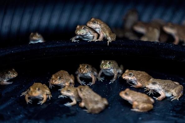 Лягушки сидят накапоте машины всвоеобразном бассейне изшин. (Jack TAYLOR/AFP via Getty Images)