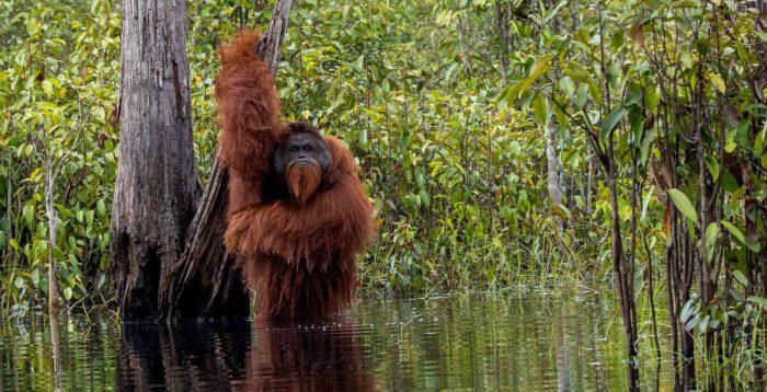 Купающийся орангутанг: забавные фотографии