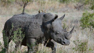 Рога носорогов сделают радиоактивными для выявления браконьеров в ЮАР